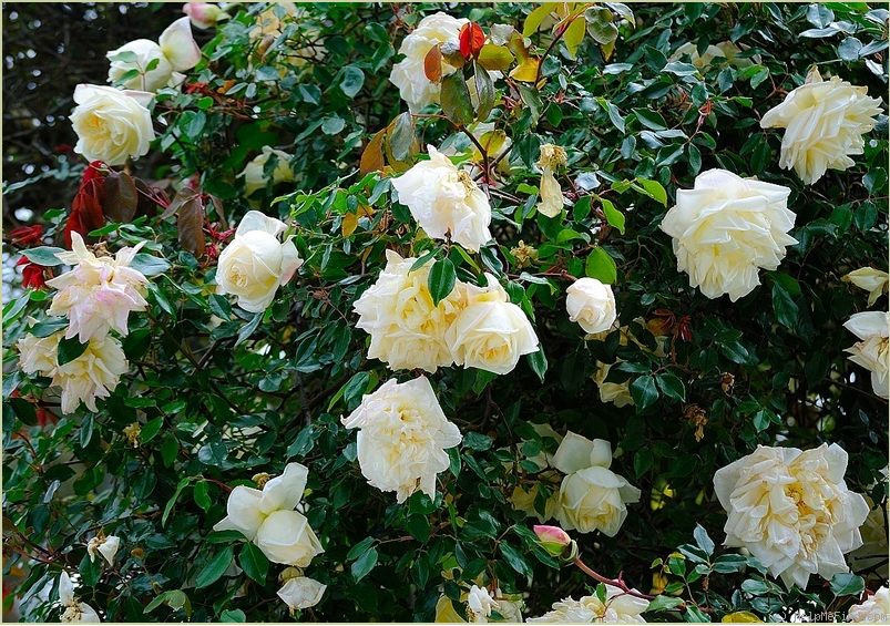 Devoniensis Rose OnShrub