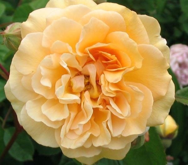 Buff Beauty Rose Closeup