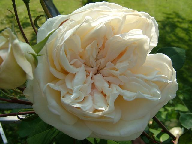 Devoniensis Rose Closeup