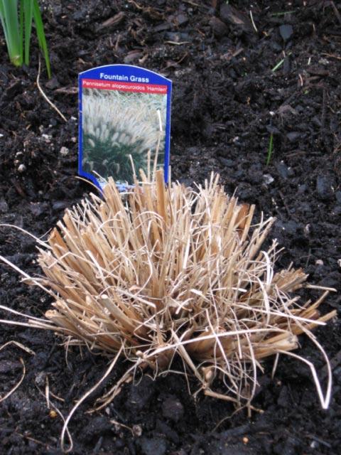 pennisetum-hamlin