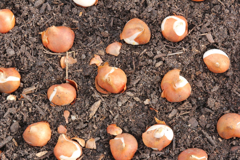 planting-tulip-bulbs