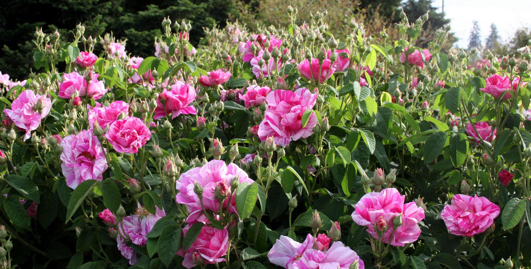 Rosa-Mundi-bush