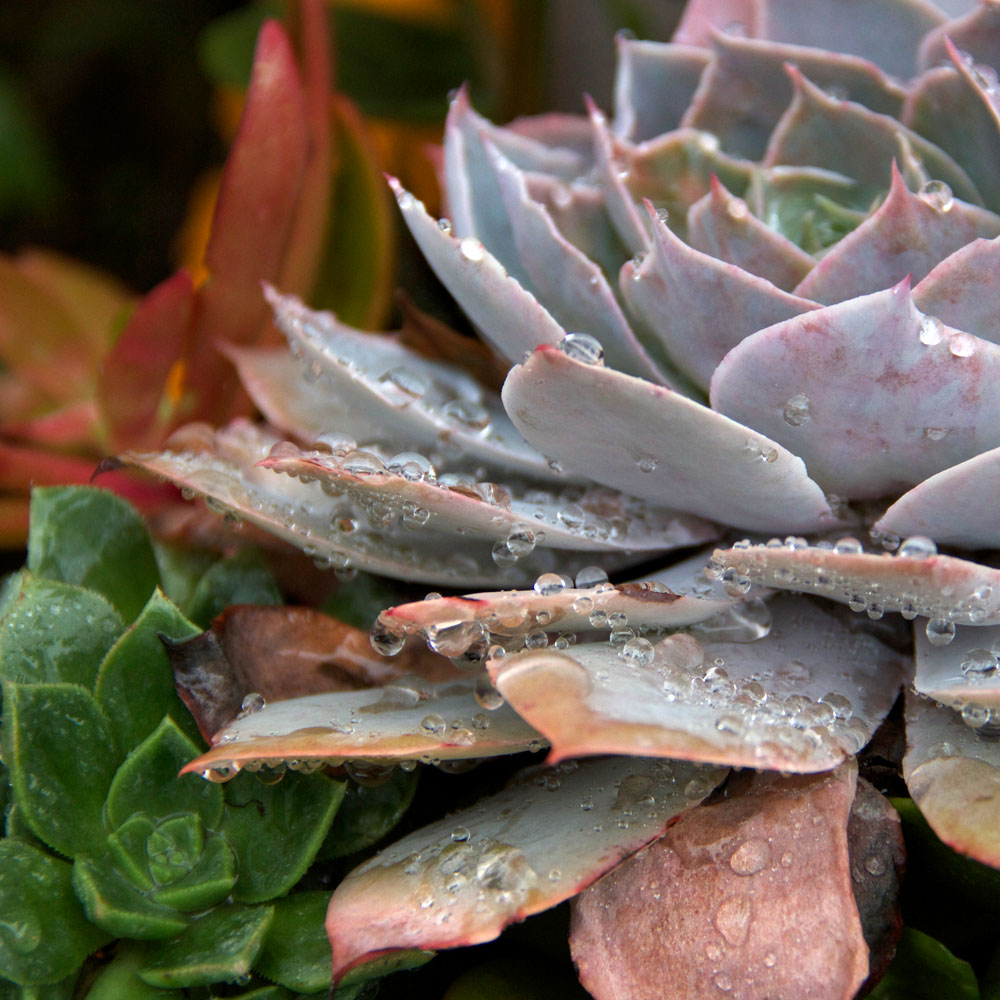 Succulents-Rain