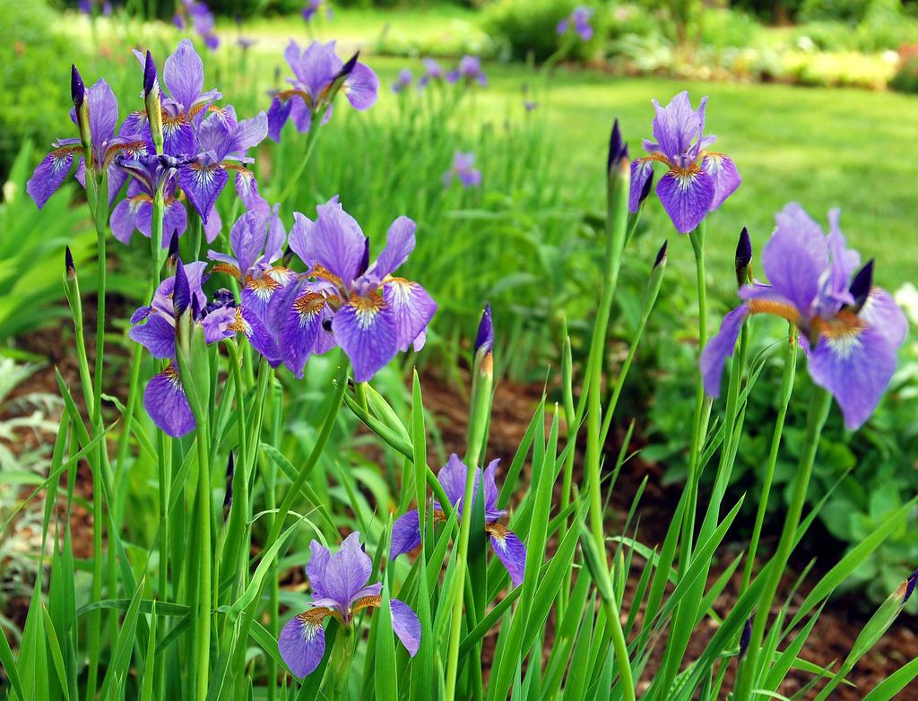 Siberian-iris